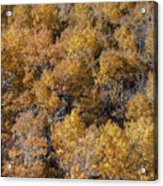 Aspen Autumn Leaves Acrylic Print