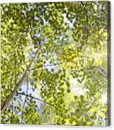Aspen Canopy With Sun Flare Acrylic Print