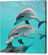 Atlantic Spotted Dolphin Stenella Acrylic Print