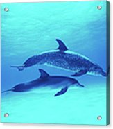 Atlantic Spotted Dolphins Stenella Acrylic Print