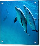 Atlantic Spotted Dolphins, Stenella Acrylic Print
