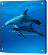 Atlantic Spotted Dolphins,stenella Acrylic Print