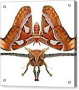 Atlas Moth5 Acrylic Print