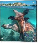 Australian Sea Lion Pair, Coral Coast Acrylic Print