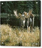 Autumn Foraging by Ron Parker 24x36 Wildlife Hunting Poster MOOSE ART PRINT