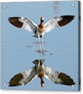 Avocet Landing Acrylic Print