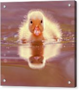 Baby Animal Series - Baby Duckling Acrylic Print