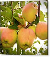 Backyard Garden Series - Apples In Apple Tree Acrylic Print