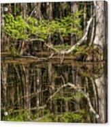 Bald Cypress Trees And Reflection, Six Acrylic Print