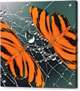 Banded Orange Butterfly. Acrylic Print