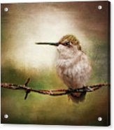 Barbed Wire Hummingbird Perch Acrylic Print