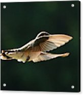 Bashful Hummingbird Acrylic Print