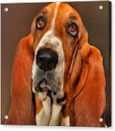 Basset Dog Portrait Acrylic Print