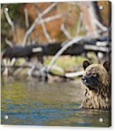 Bathing Blonde Grizzly Acrylic Print