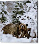 Bear In The Snow Acrylic Print