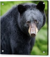 Bear Stare Acrylic Print