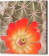 Beautiful Claret Cup  Hedgehog Blossoms Acrylic Print