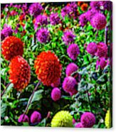 Beautiful Dahlia Garden Acrylic Print