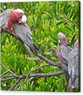 Beautiful Galah Birds With Babies. Wilsons Promontory National Park, Australia Acrylic Print