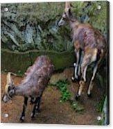 Beautiful Horns Acrylic Print