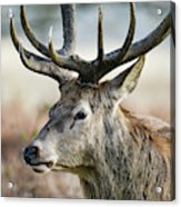 Beautiful Red Deer Stag Cervus Elaphus With Majestic Antelrs In  Acrylic Print