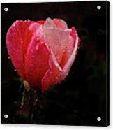 Beautiful Wet Rose Acrylic Print