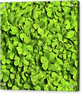 Bed Of Clover Acrylic Print