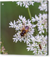 Bee Relaxing On A Flower. Acrylic Print
