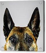 Belgian Sheperd Malinois Dog Looking At Acrylic Print