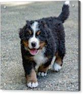 Bernese Mountain Dog Puppy 2 Acrylic Print