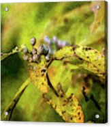 Berries And Aging Leaves 5709 Idp_2 Acrylic Print