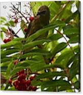 Berries And Waxwing Acrylic Print