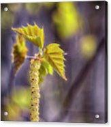 Birch Blooms Acrylic Print