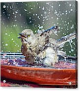 Bird In A Bath Acrylic Print