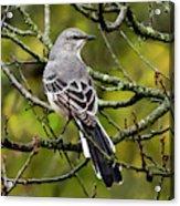Mockingbird In Tree Acrylic Print