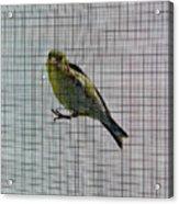 Bird Watching Reversed Acrylic Print