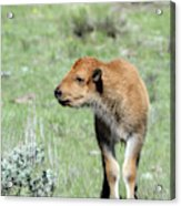Bison Calf In Lamar Valley Acrylic Print