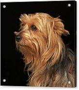 Black And Brown Yorkie Left Profile On Acrylic Print
