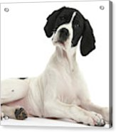Black-and-white Pointer Pup Acrylic Print