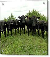 Black Angus Cows Acrylic Print