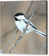 Black-capped Chickadee In Spring Acrylic Print