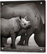Black Rhinoceros Baby And Cow Acrylic Print