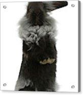 Black Rough Rabbit Acrylic Print