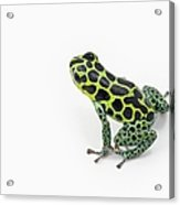 Black Spotted Green Poison Dart Frog Acrylic Print