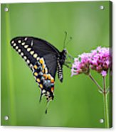 Black Swallowtail Balance Acrylic Print