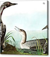 Black Throated Diver, Colymbus Arcticus By Audubon Acrylic Print