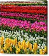 Blazing Tulips Acrylic Print
