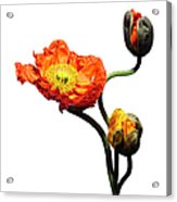 Blossoming Poppy Flowers On White Acrylic Print