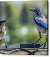 Blu And Blu2 Acrylic Print