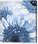 Blue Gerbera Acrylic Print